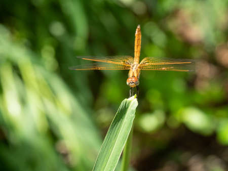 Scarlet Skimmer or Crimson Darter or Female Meadowhawk dragonfly on pineapple leaf with natural green background, Tropical insect in Thailand Zdjęcie Seryjne