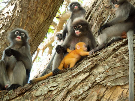 Group of monkeys sitting on tree in the forest, The golden yellow childhood monkey and other Dusky leaf monkey ( Spectacled langur ) at Prachuap Khiri Khan Province, Thailand Stock Photo