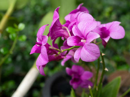 Tropical orchid with natural green background, Petals of pink and purple flowers blooming