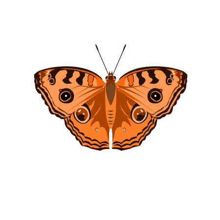 The Peacock Pansy ( Junonia almana ) butterfly isolated on white background, Pattern similar to the eyes on the wing of orange color insect, Illustration in the style of graphic and vector design