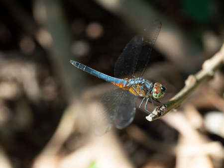 Blue dasher dragonfly with pattern of yellow and orange on the side of the body, Predator insects with transparent wings on a branch with gray background