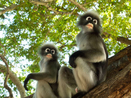 Two Dusky leaf monkey ( Spectacled langur ) sitting on tree in forest with natural green background, Prachuap Khiri Khan Province, Thailand Banque d'images
