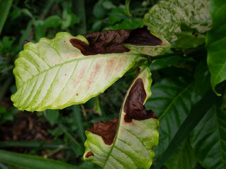 Brown damage by anthracnose on the green leaf of Robusta coffee plant tree, Plant diseases that damage agriculture Banque d'images