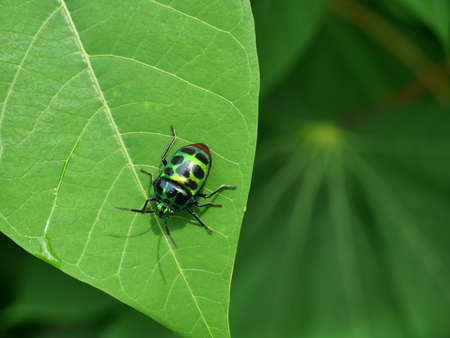 The Rainbow Shield Bug on leaf plant tree with natural green background, Beautiful colored tropical insects in Thailand Banque d'images