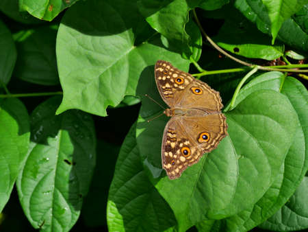 The Lemon Pansy (Junonia lemonias) butterfly with the pattern similar to the eyes on the wings, Insect on leaf with natural green background , Thailand