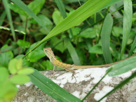 Baby Oriental garden or Eastern garden or Changeable lizard on tree with natural green leaves in the background. Thailand