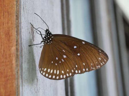 The Long-branded Blue Crow ( Euploea algea ) butterfly on wooden wall, Many white spots on dark brown wings