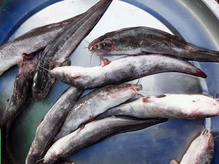 Blackskin catfish ( Clarias meladerma ) fishes in tray at the market, Saltwater fish species in Thailand Banque d'images