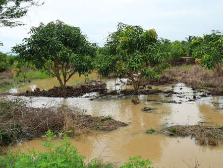 Turbid water in the rainy season is flooding the mango garden in Thailand, Agricultural damage from heavy rainfall