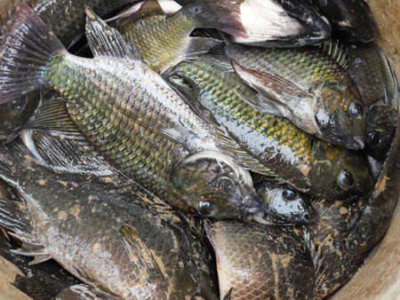 Group of Blackchin tilapia fishes in a container, Alien species of fish in Thailand Banque d'images