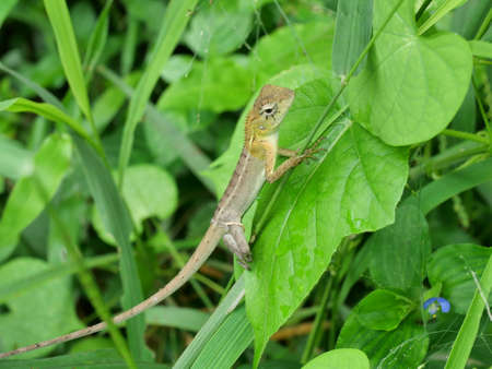 Closeup Oriental garden or Eastern garden or Changeable lizard, Molting chameleon with natural green leaves in the background, Thailand Banque d'images