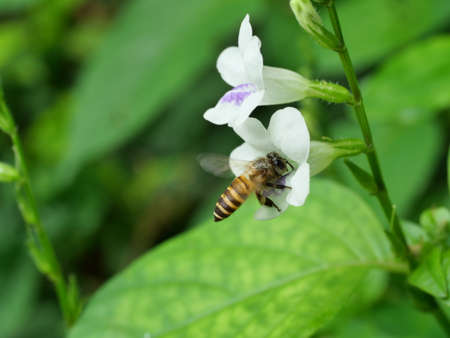 Honey Bee seeking nectar on white Chinese violet or coromandel or creeping foxglove ( Asystasia gangetica ) blossom in field with natural green background, Thailand