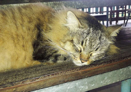 Persian tabby cat sleeping on chair, Long haired pet resting Banque d'images