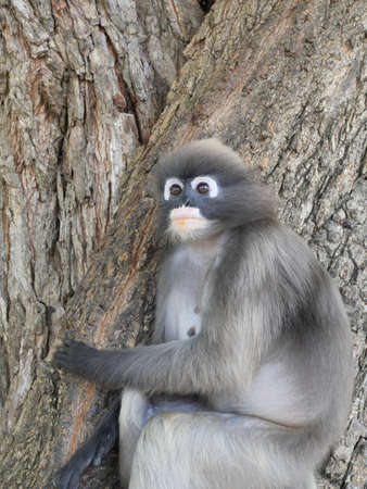 Dusky leaf monkey ( Spectacled langur ) sitting on tree in forest, Prachuap Khiri Khan Province, Thailand