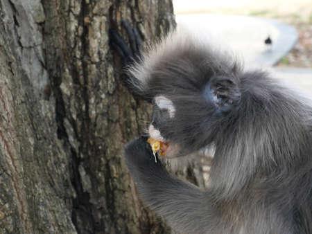 Dusky leaf monkey ( Spectacled langur ) sitting and eating fruit on tree in forest, Prachuap Khiri Khan Province, Thailand