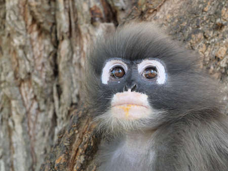 Close up Dusky leaf monkey ( Spectacled langur ) sitting on tree in forest, Prachuap Khiri Khan Province, Thailand