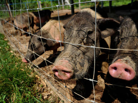 Group of Vietnamese Pot bellied pigs at farm, Close up head ans nose of pig