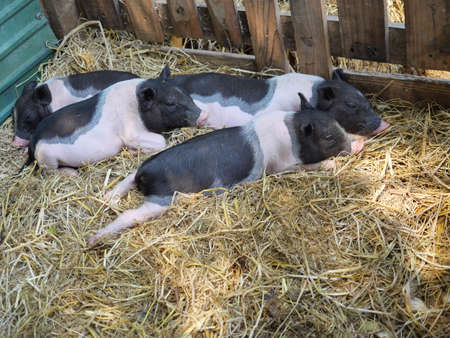 Four baby Vietnamese Pot bellied pigs sleeping on the yellow straw in the stall at farm Banque d'images