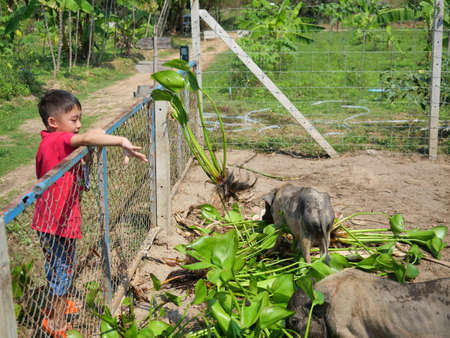Asian boy is feeding pig on a farm, Group of Vietnamese Pot bellied pigs eating Water Hyacinth tree and leaves, Young farmer wearing red shirt in Thailand Imagens