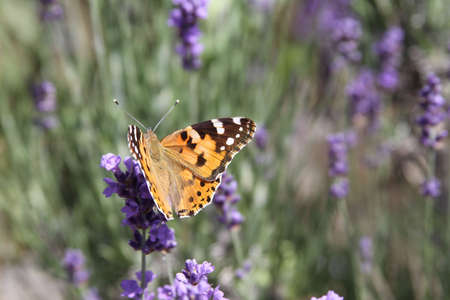 An orange butterfly on lavender  photo