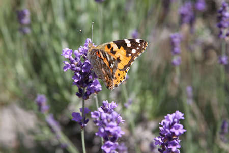 keen: A painted lady  on lavender in garish sunshine
