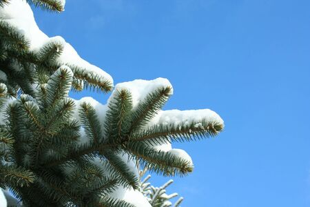 Branches of fir-tree on the blue sky in winter