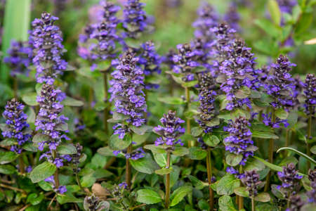 Bush Ajuga reptans with small blue flowers growing in the garden