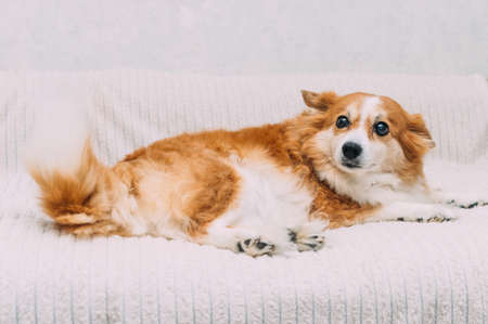 Ginger dog lies in the room on the bed