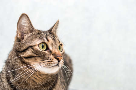 Beautiful cat close-up on a gray background