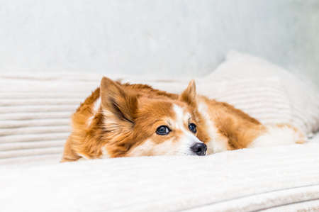 Portrait of a ginger dog on the bed close-up