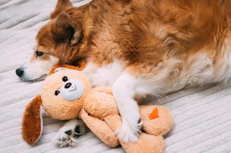 Redhead beautiful dog sleeping in an embrace with a toy close-up