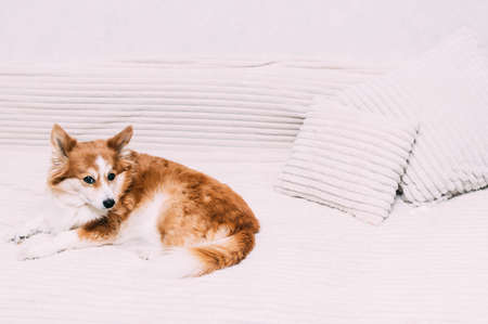Portrait of a funny ginger dog on a bed with pillows close-up Banco de Imagens