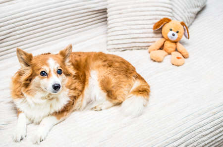 Portrait of a ginger dog on a bed with pillows and a toy close-up Banco de Imagens