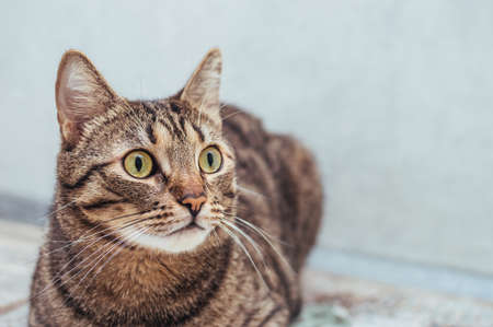 Portrait of a surprised cat on a gray background close-up
