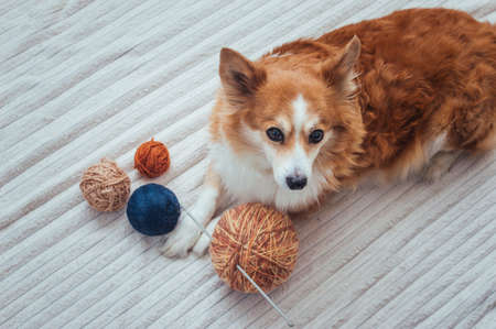dog lies with a large ball of knitting thread and a knitting needle.