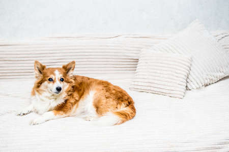 Portrait of a ginger dog on a bed with pillows close-up