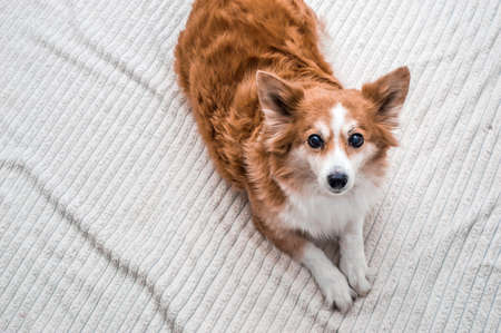 Beautiful ginger dog on a white plaid. Copy space Banco de Imagens