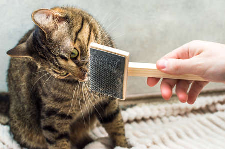 owner is combing the hair with a comb for his cat
