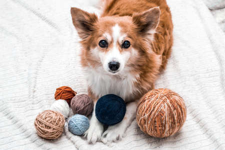 dog lies with balls of yarn for knitting on white backgrounds. Handicraft and knitting concept