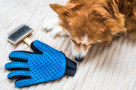 sad dog lies near a brush and gloves. Molting in a dog