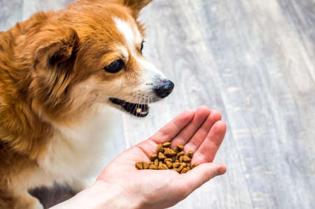 dog eats dry food from the hand of its owner in the kitchen