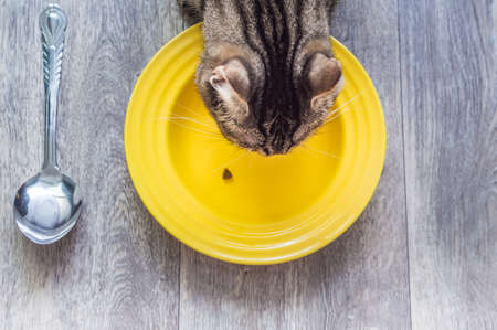 cat eats dry food from a yellow plate. Cat food concept