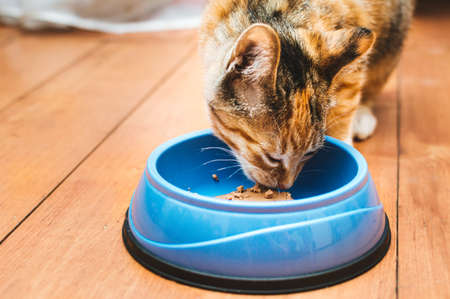 Portrait of a cat eating from a blue bowl on the floor