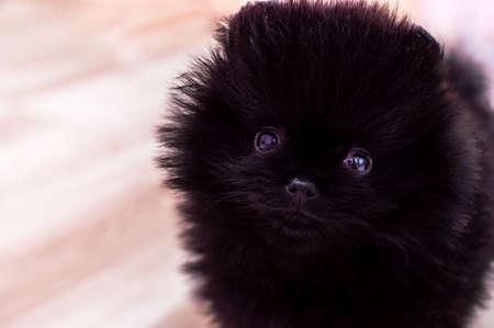 Close-up portrait of a black color Pomeranian puppy
