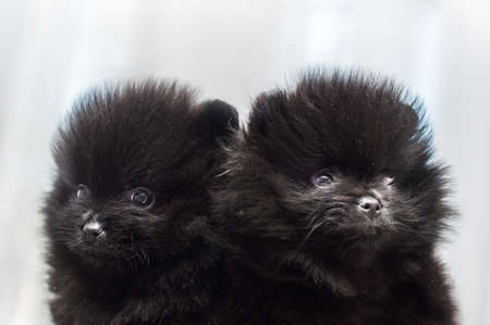 Two black Spitz puppies close up