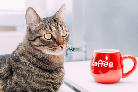 funny cat sits on a chair at a table with a big red cup of coffee. Concept morning