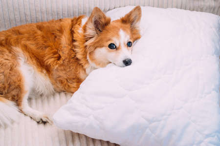 dog lies on the bed on a pillow Banco de Imagens
