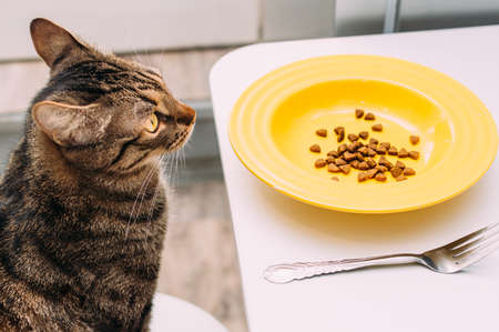 cat sits on a chair at the table with a plate and fork. Cat food concept