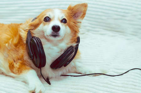 dog lies on the bed and listens to music on headphones Banco de Imagens
