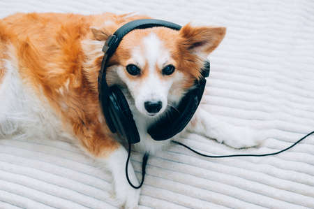 Funny dog listening to music on headphones Banco de Imagens
